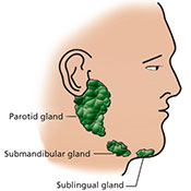 Diagrammatic representation of the location of the major salivary glands
